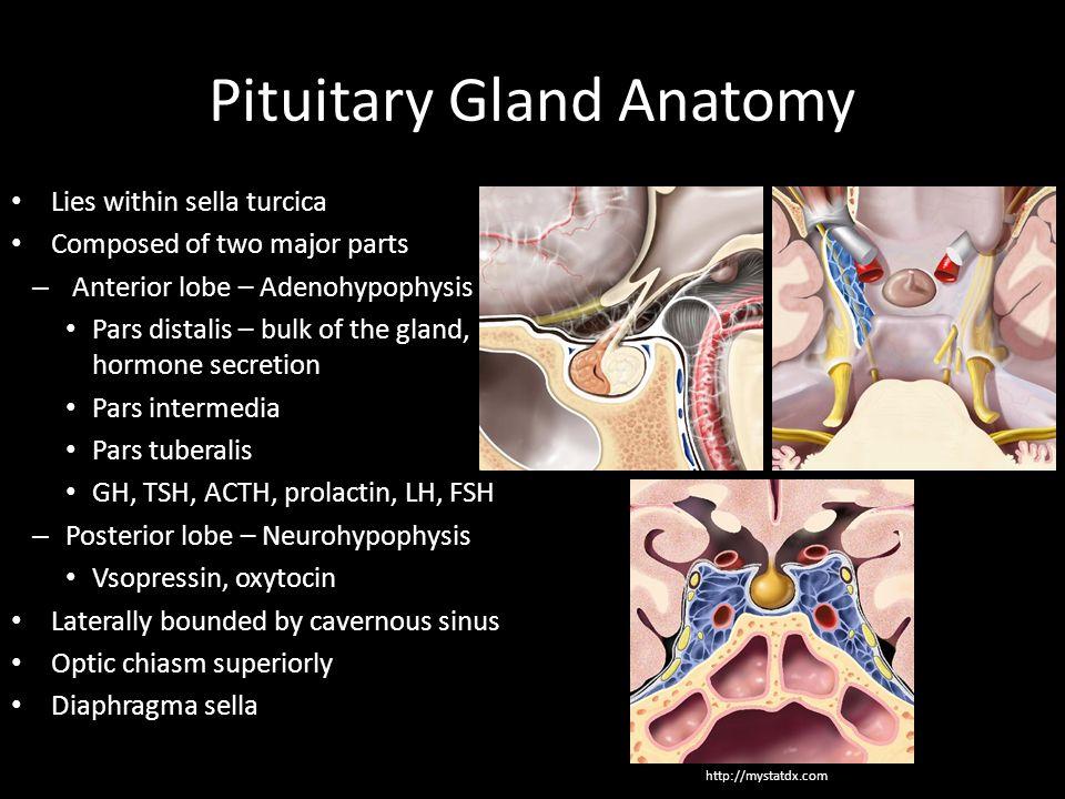 Anatomy pituitary gland