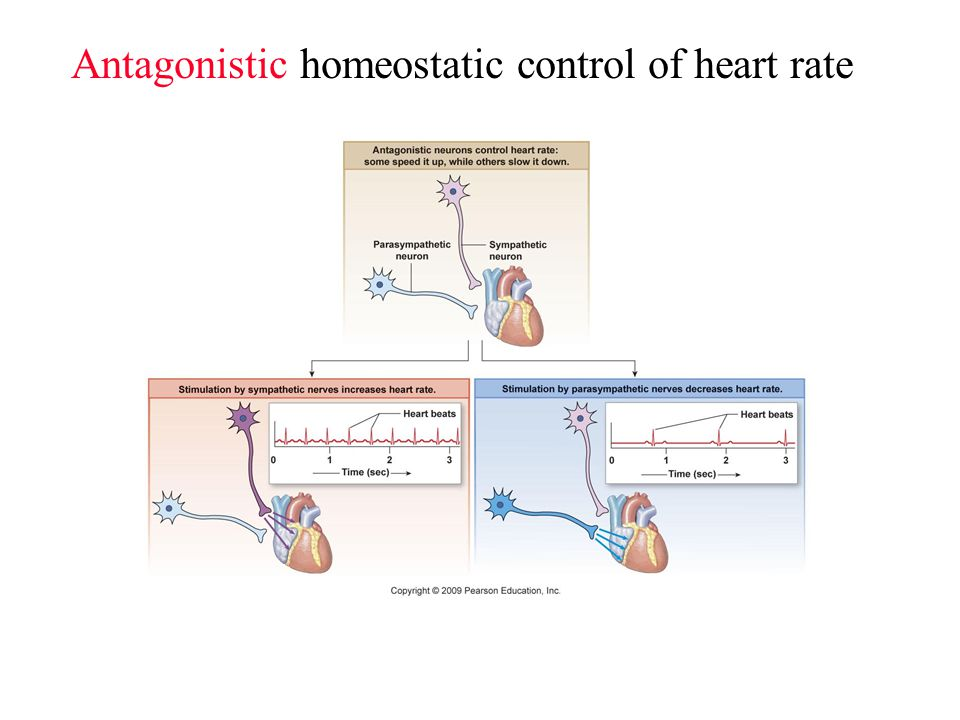 lab report example for autonomic nervous system on the heart rate For example, sympathetic and parasympathetic influences constantly  through  the following: pupillary dilation, increased heart rate and myocardial contractility,   autonomic nervous system paper, and the ans pathways which have been   saliva sampling is a portable test that can be performed outside of the lab.