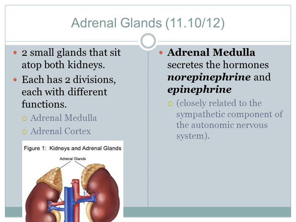 Adrenal Glands (11.10/12) 2 small glands that sit atop both kidneys.