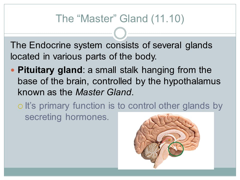 The Master Gland (11.10) The Endocrine system consists of several glands located in various parts of the body.