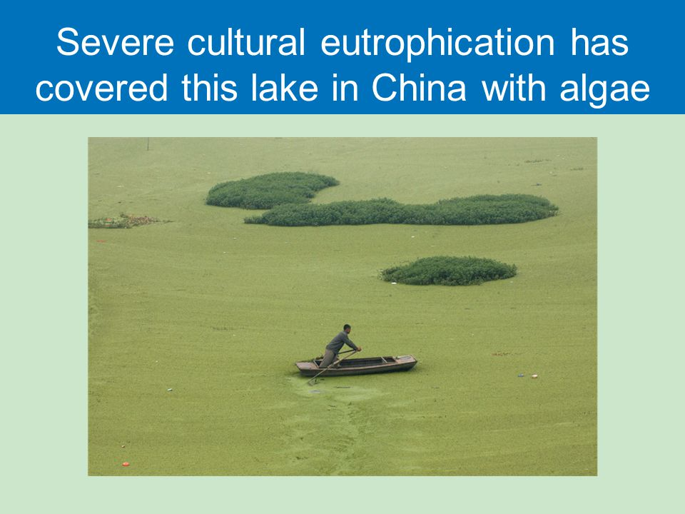 Severe cultural eutrophication has covered this lake in China with algae