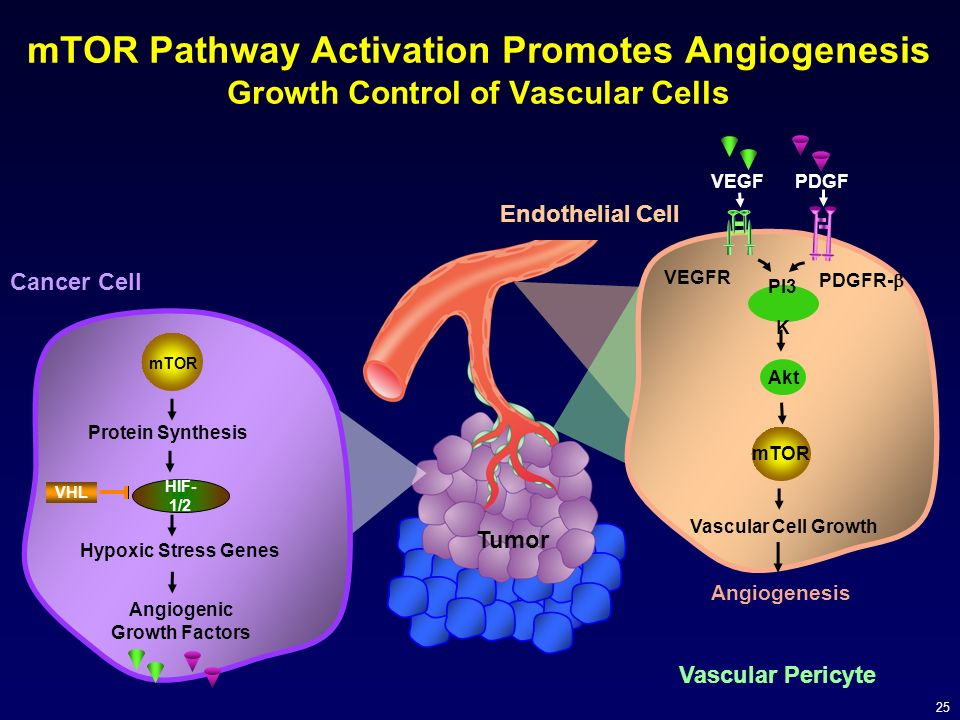 mTOR Pathway Activation Promotes Angiogenesis Growth Control of Vascular Cells