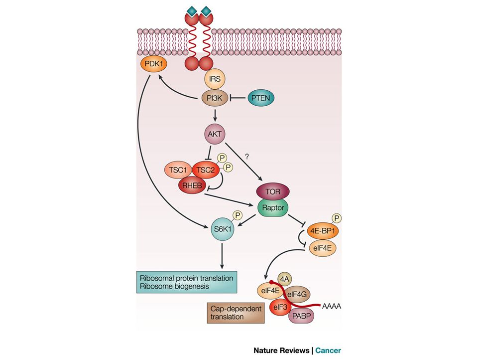 The target of rapamycin signalling pathway