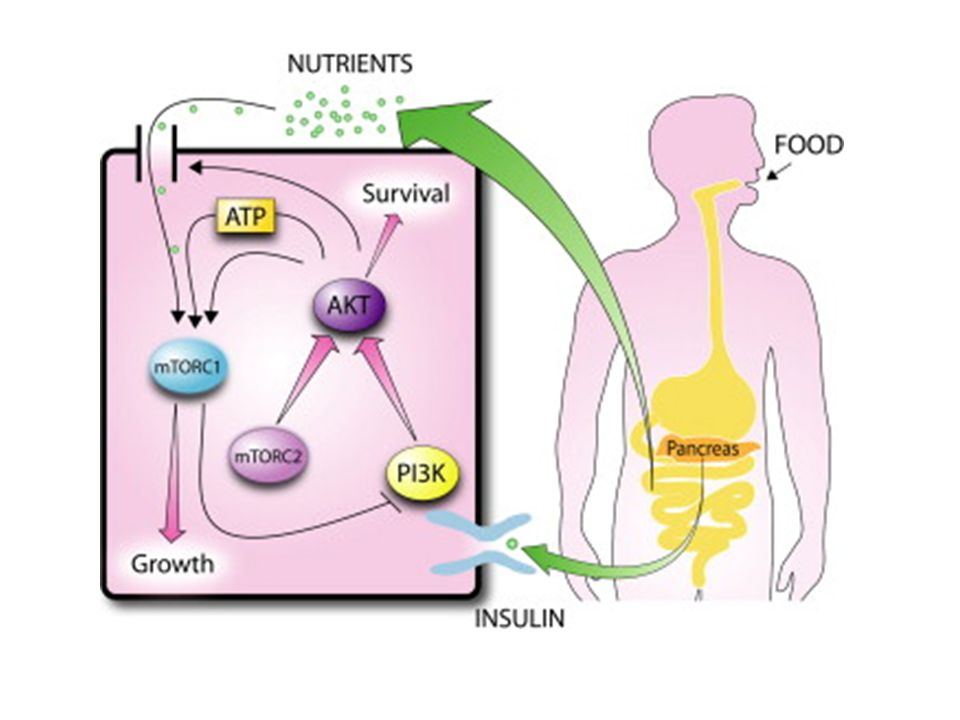 Figure 4. Linking Cell Autonomous and Systemic Nutrient Sensing by mTOR