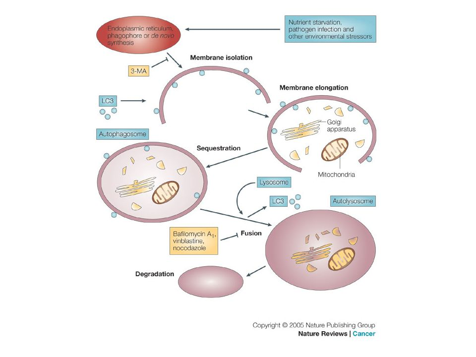 The cellular process of autophagy