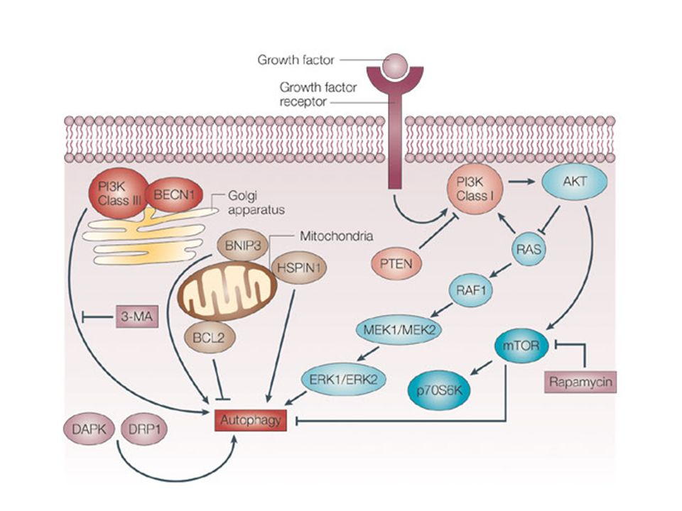 The molecular regulation of autophagy