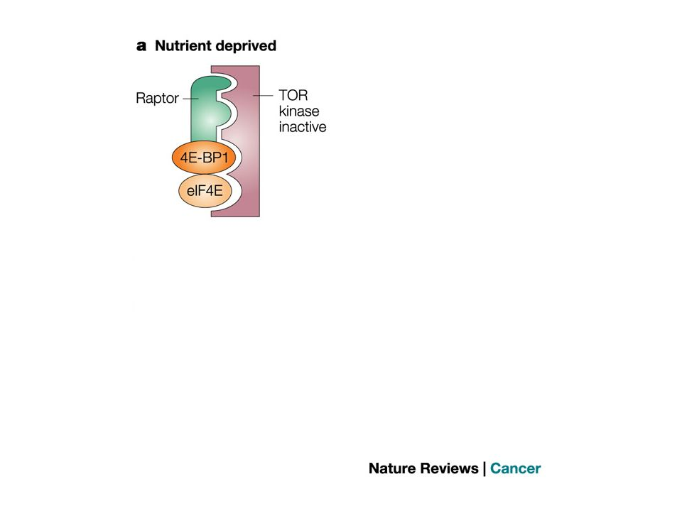 Regulation of target of rapamycin signalling by raptor