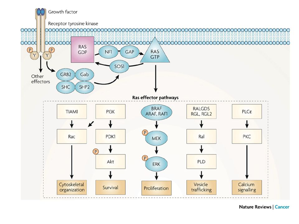 This illustration of the Ras signalling pathway highlights proteins affected by mutations in developmental disorders and cancer.