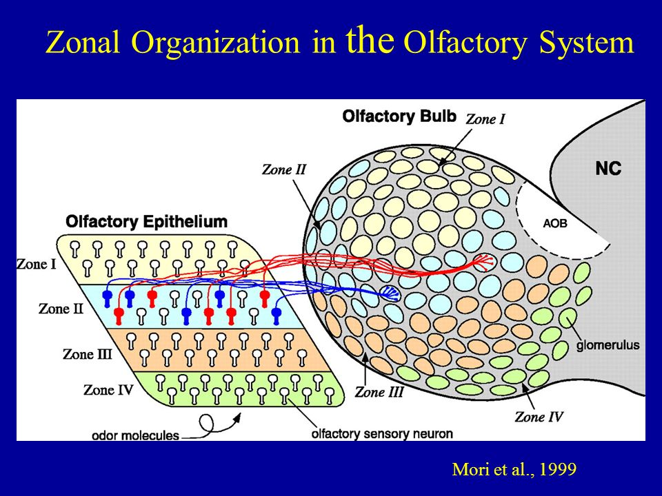 Zonal Organization in the Olfactory System