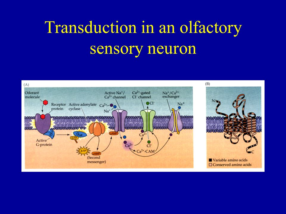 Transduction in an olfactory sensory neuron