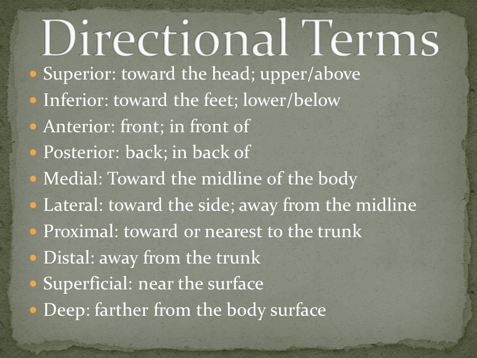 Directional Terms Superior: toward the head; upper/above