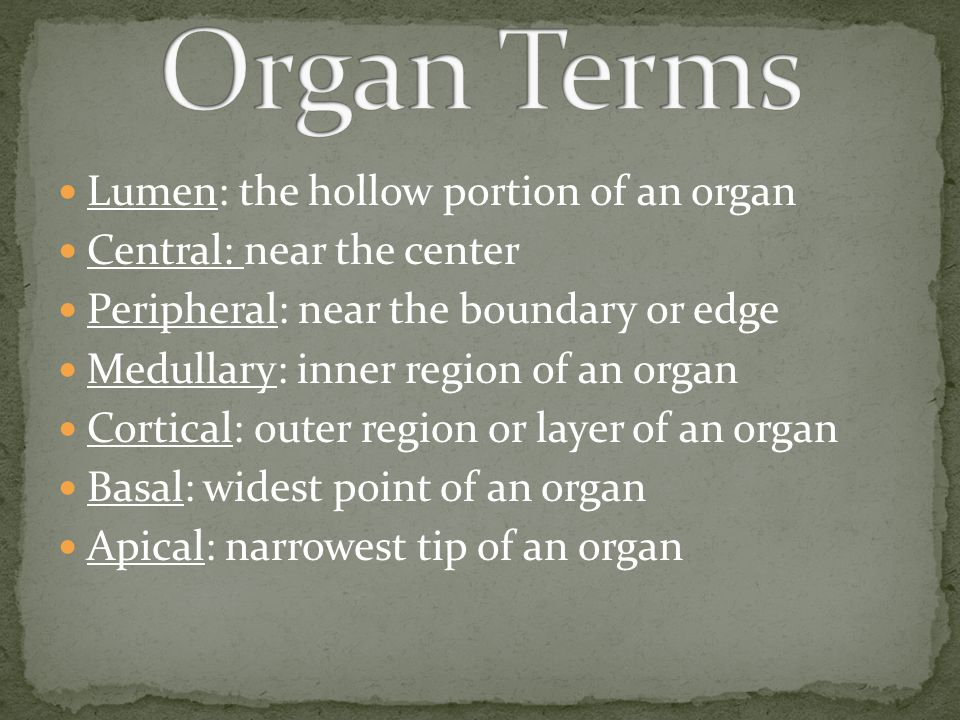 Organ Terms Lumen: the hollow portion of an organ