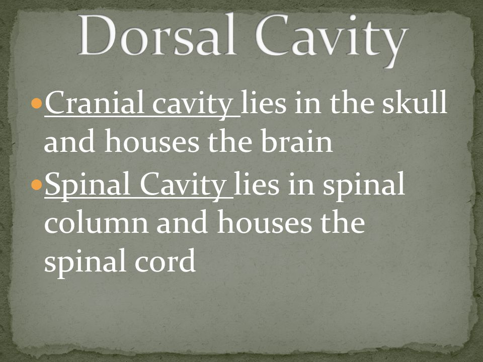 Dorsal Cavity Cranial cavity lies in the skull and houses the brain