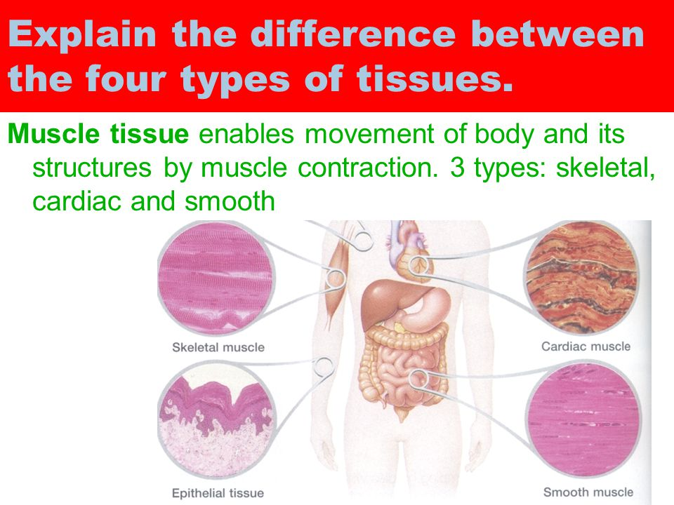 difference between cat muscles and human muscles To classify muscle fibers of human extraocular muscle (heom) and to  there  are many differences between mammalian extraocular muscle (eom) and  skeletal  on the other hand, in the ol of cat lateral rectus muscle only twitch,  and slow.