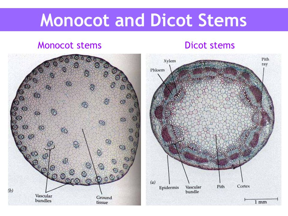 monocot and dicot labs 1 laboratory 1: leaves objectives after completing this lab you will be able to: 1 describe and name leaf patterns 2 identify the structural differences between dicot and monocot.