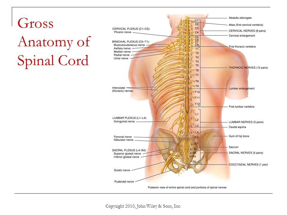 gross anatomy of the central nervous system lab