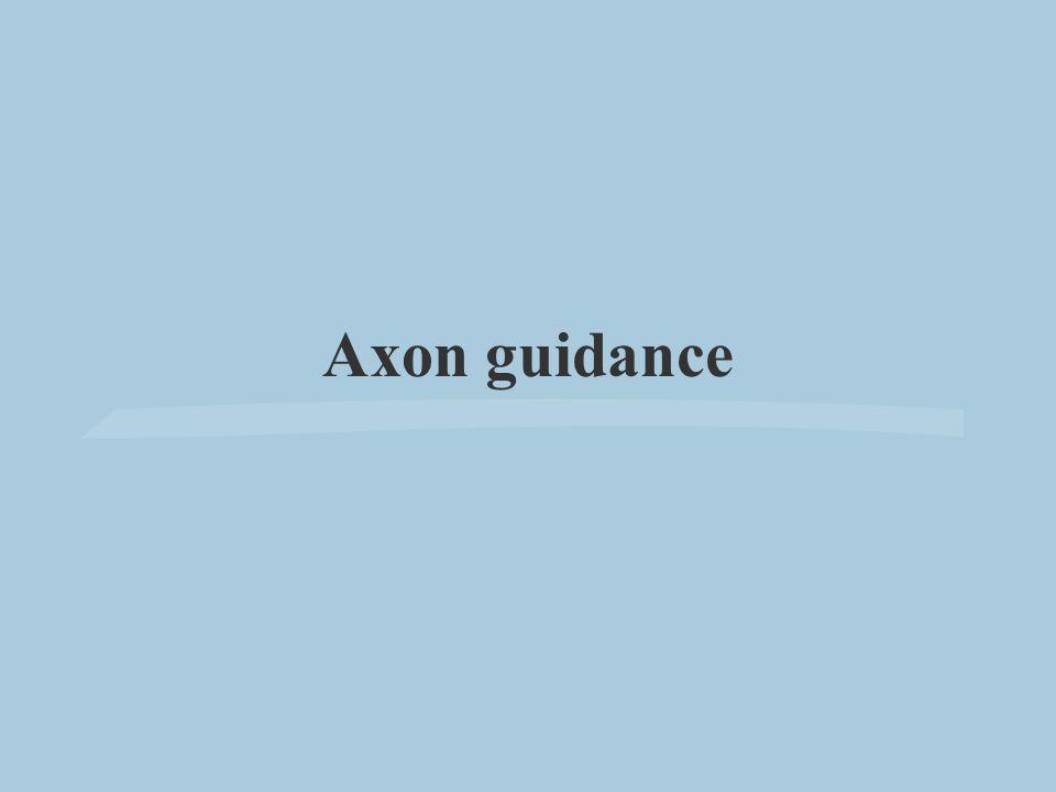 Axon guidance