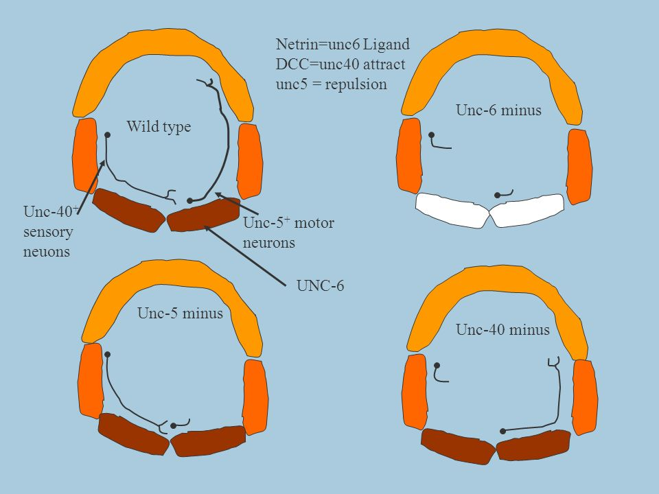 Netrin=unc6 LigandDCC=unc40 attract. unc5 = repulsion. Unc-6 minus. Wild type. Unc-40+ sensory. neuons.