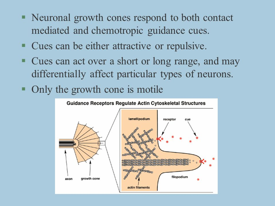 Neuronal growth cones respond to both contact mediated and chemotropic guidance cues.