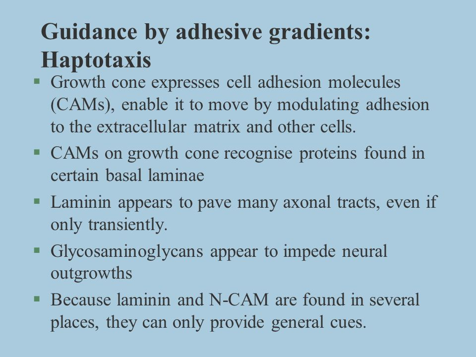 Guidance by adhesive gradients: Haptotaxis