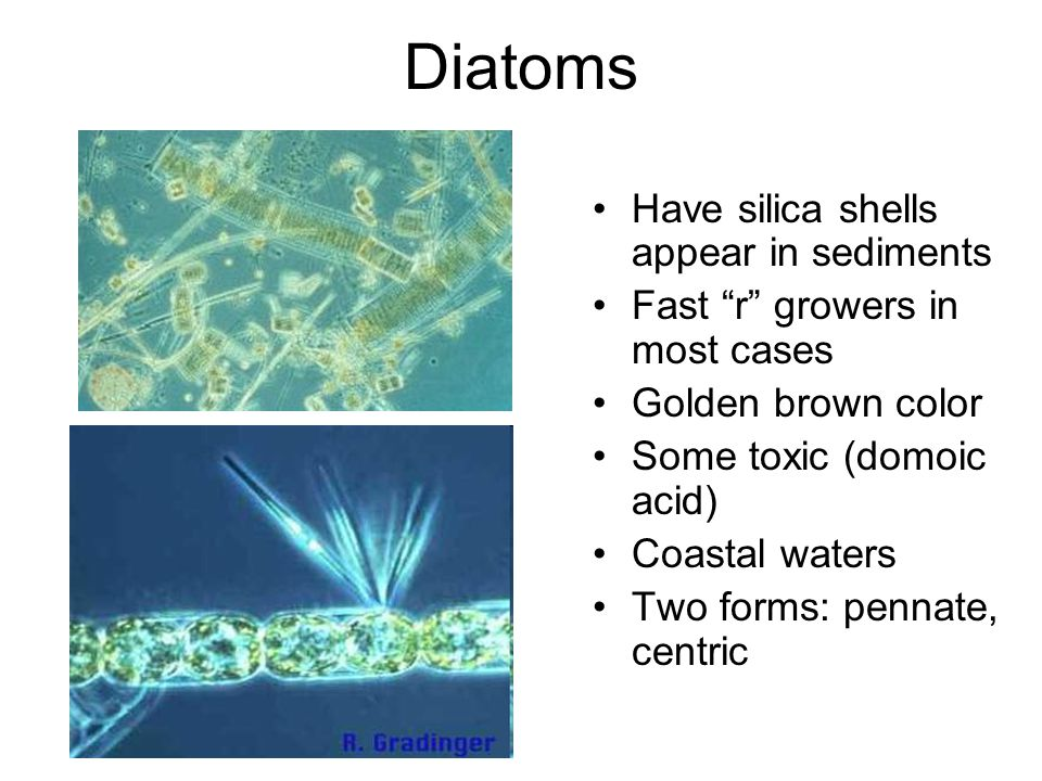 Diatoms Have silica shells appear in sediments