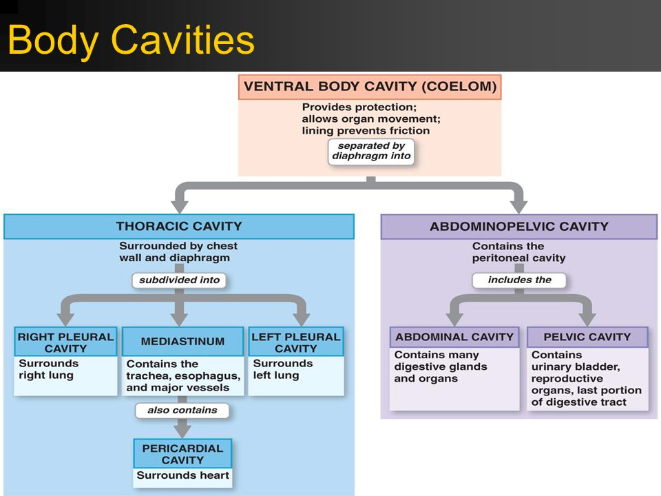 Body Cavities FIGURE 1–10 Relationships Among the Subdivisions of the Ventral Body Cavity. 12