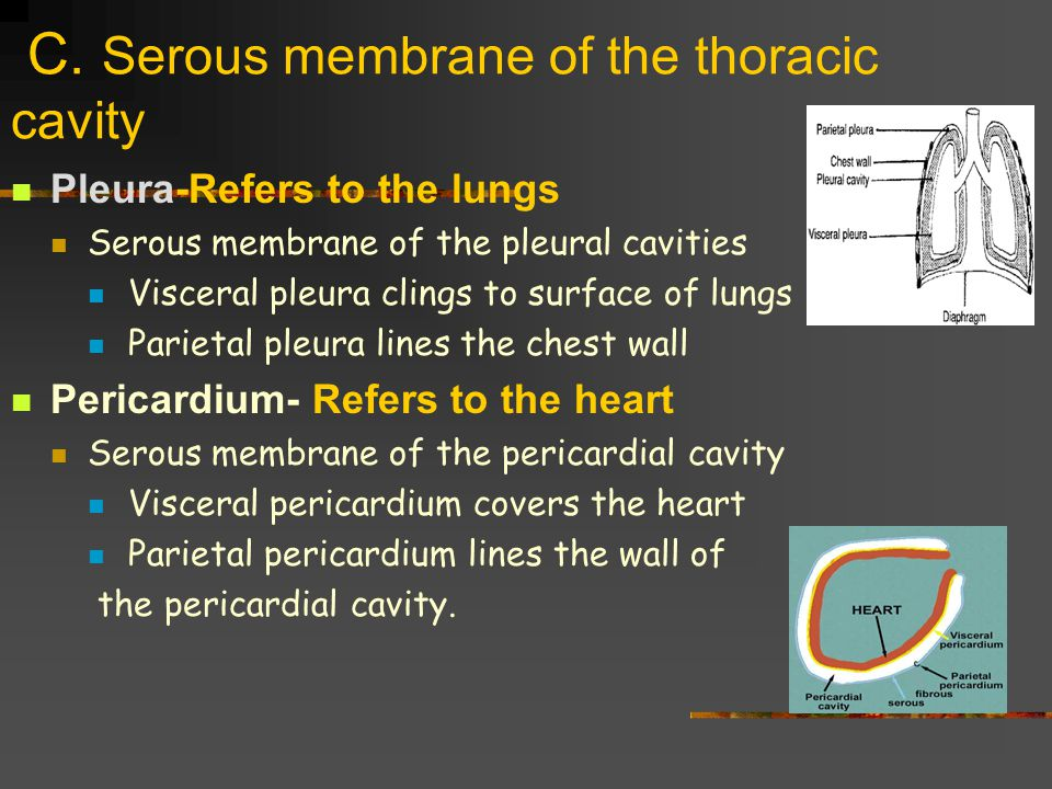 C. Serous membrane of the thoracic cavity
