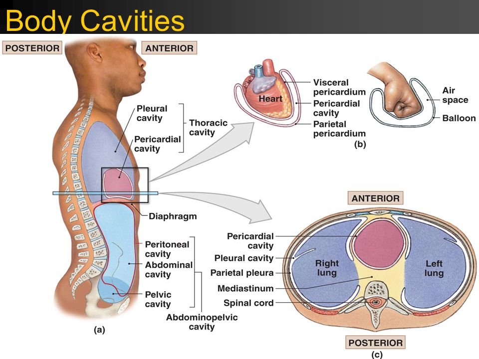 Body Cavities FIGURE 1–11 The Ventral Body Cavity and Its Subdivisions.