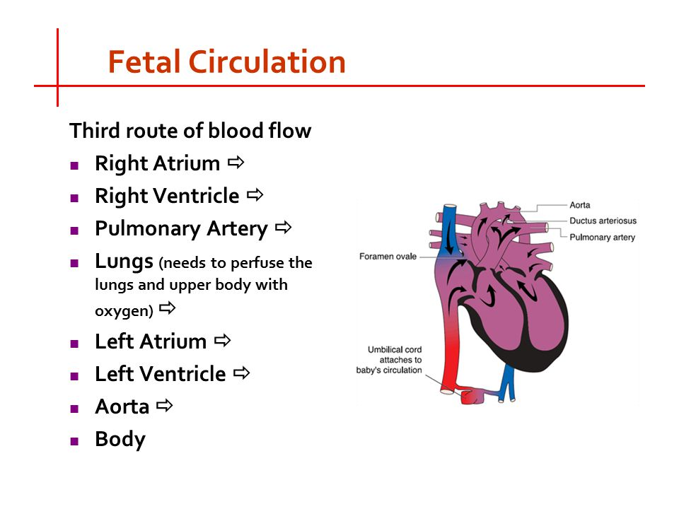 blood circulation from right femoral vein to right pulmonary artery Right ventricle 4 pulmonary  artery 10 external iliac vein 11 femoral artery 12 femoral vein  show correct order of the blood flow in.