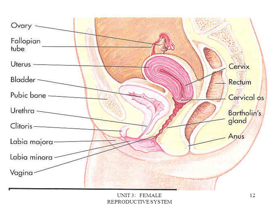 Old Fashioned Introitus Female Anatomy Gift - Anatomy Ideas - yunoki ...