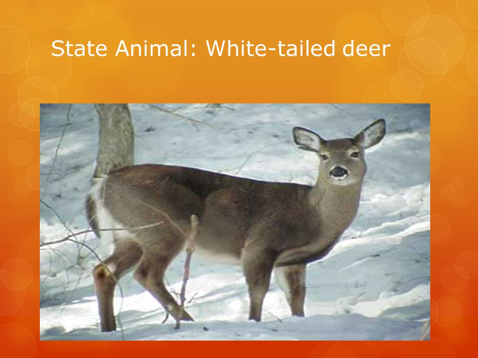 State Animal: White-tailed deer