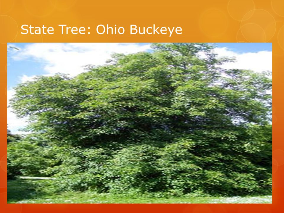 State Tree: Ohio Buckeye