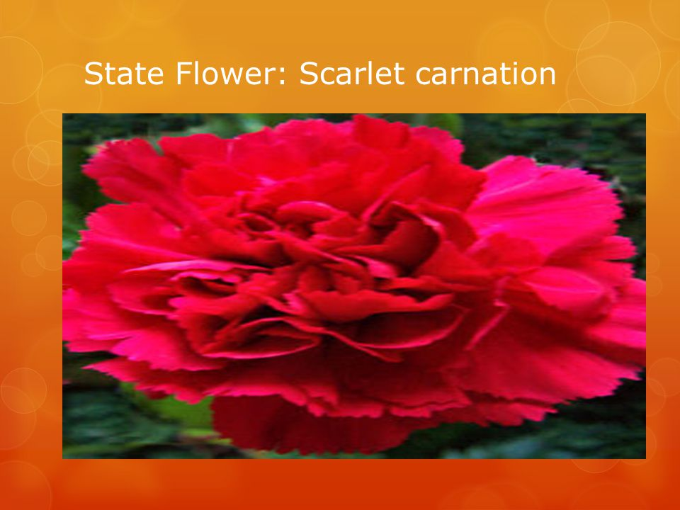 State Flower: Scarlet carnation