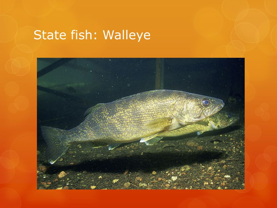 State fish: Walleye