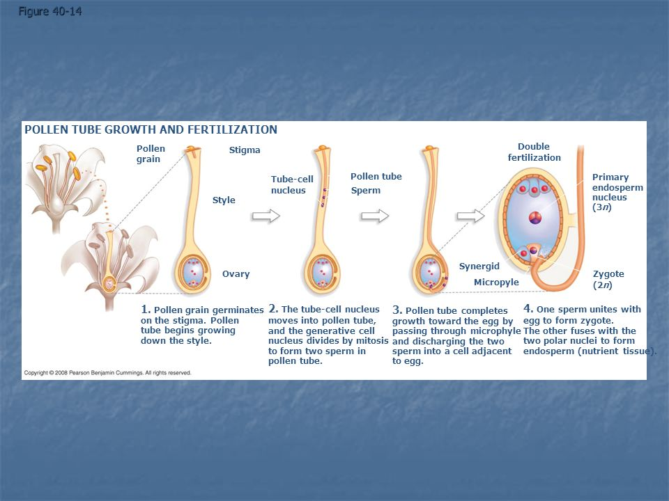 POLLEN TUBE GROWTH AND FERTILIZATION