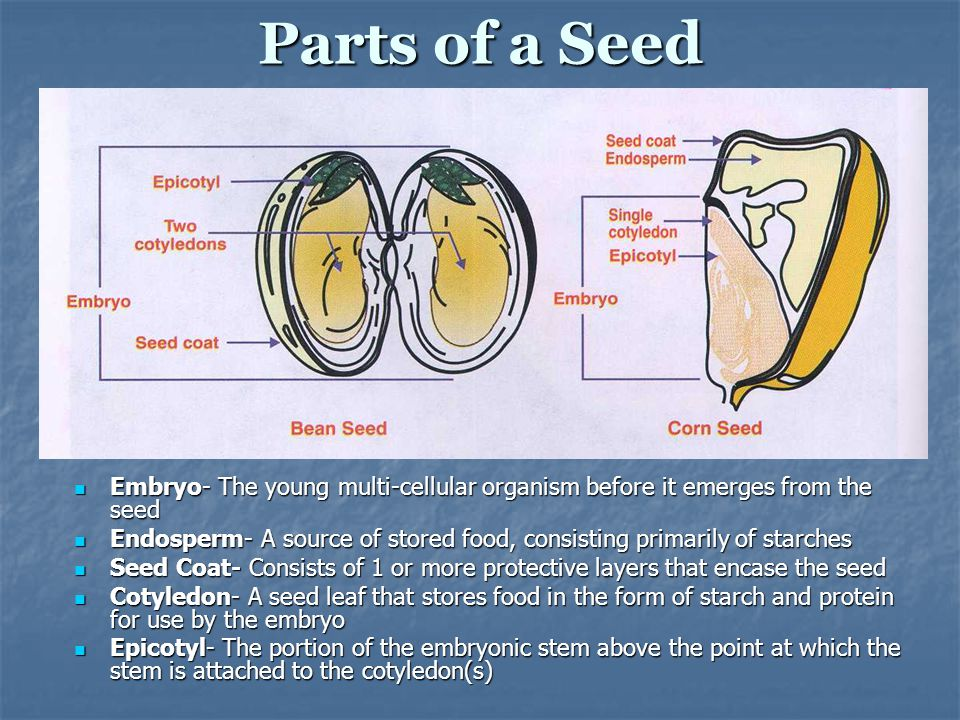 Parts of a Seed Embryo- The young multi-cellular organism before it emerges from the seed.
