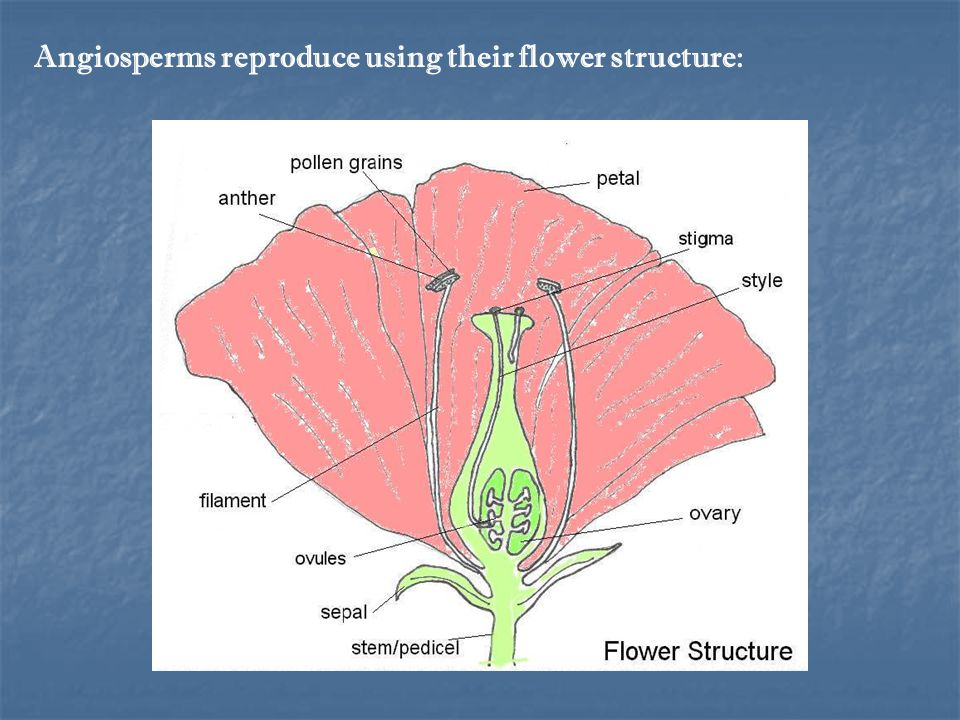 Angiosperms reproduce using their flower structure: