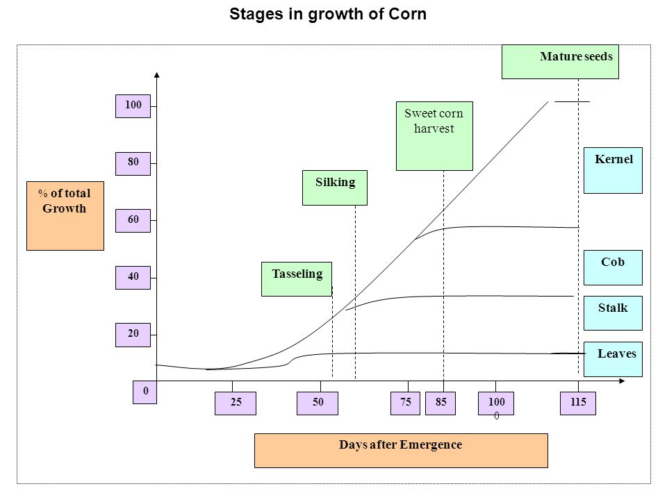 Stages in growth of Corn