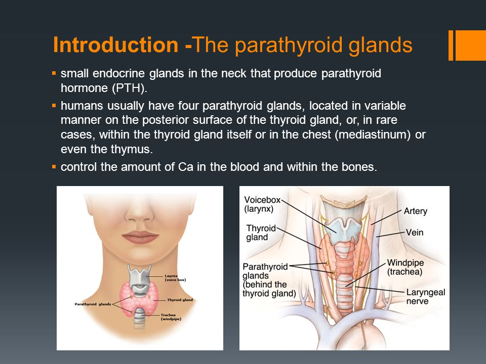 parathyroid glands located - Kubre.euforic.co
