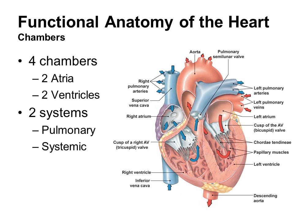 review sheet exercise 6 cardiovascular physiology