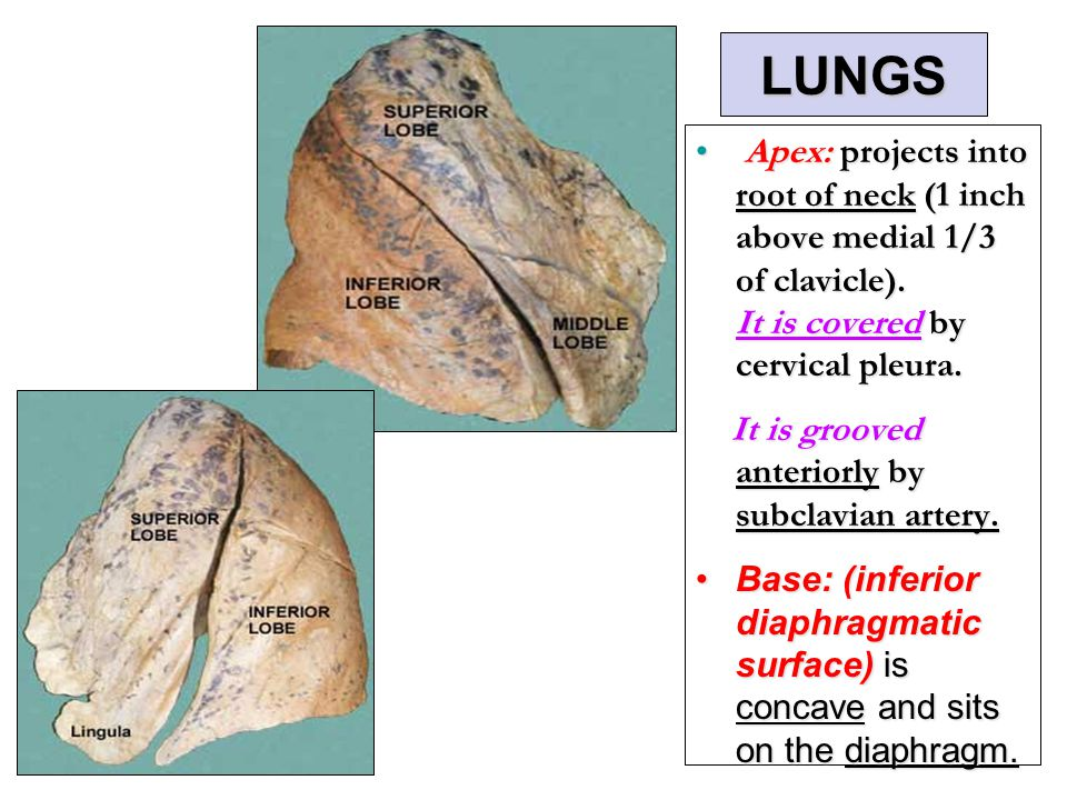 Pleura and Lung By Prof. Saeed Abuel Makarem & Dr. Sanaa ...  Pleura and Lung...