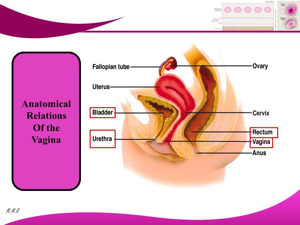 Atemberaubend Weibliche Genitalanatomie Diagramm Bilder - Anatomie ...