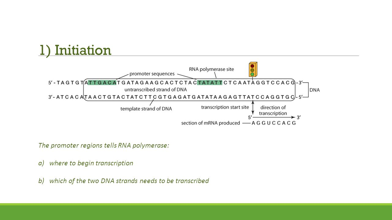 1) Initiation The promoter regions tells RNA polymerase: