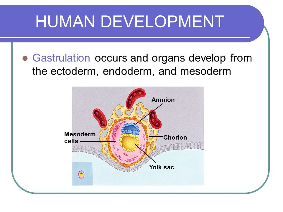 HUMAN DEVELOPMENT Gastrulation occurs and organs develop from the ectoderm, endoderm, and mesoderm.