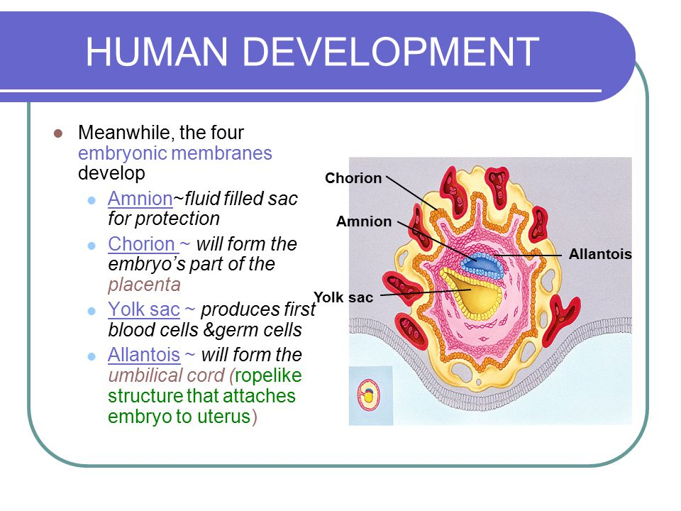 HUMAN DEVELOPMENT Meanwhile, the four embryonic membranes develop