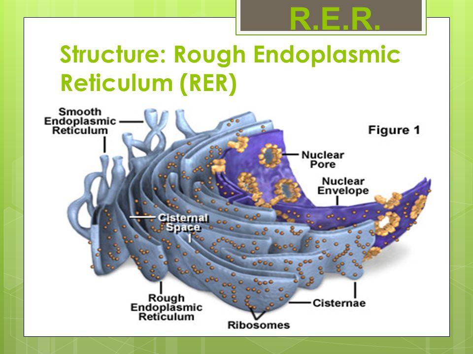 endoplasmic reticulum diagram rough endoplasmic reticulum - ppt download