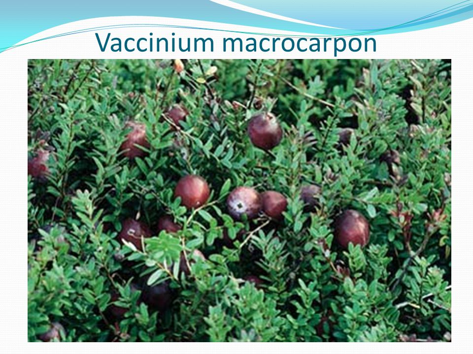 Urinary antiseptics and demulcents ppt video online download for Vaccinium macrocarpon