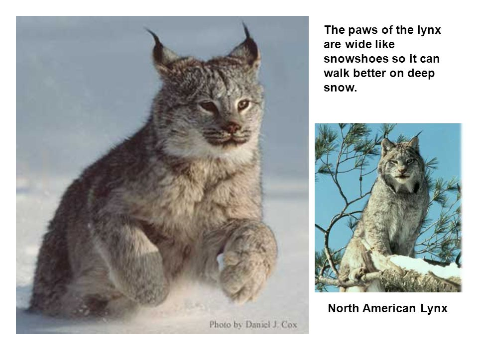 The paws of the lynx are wide like snowshoes so it can walk better on deep snow.