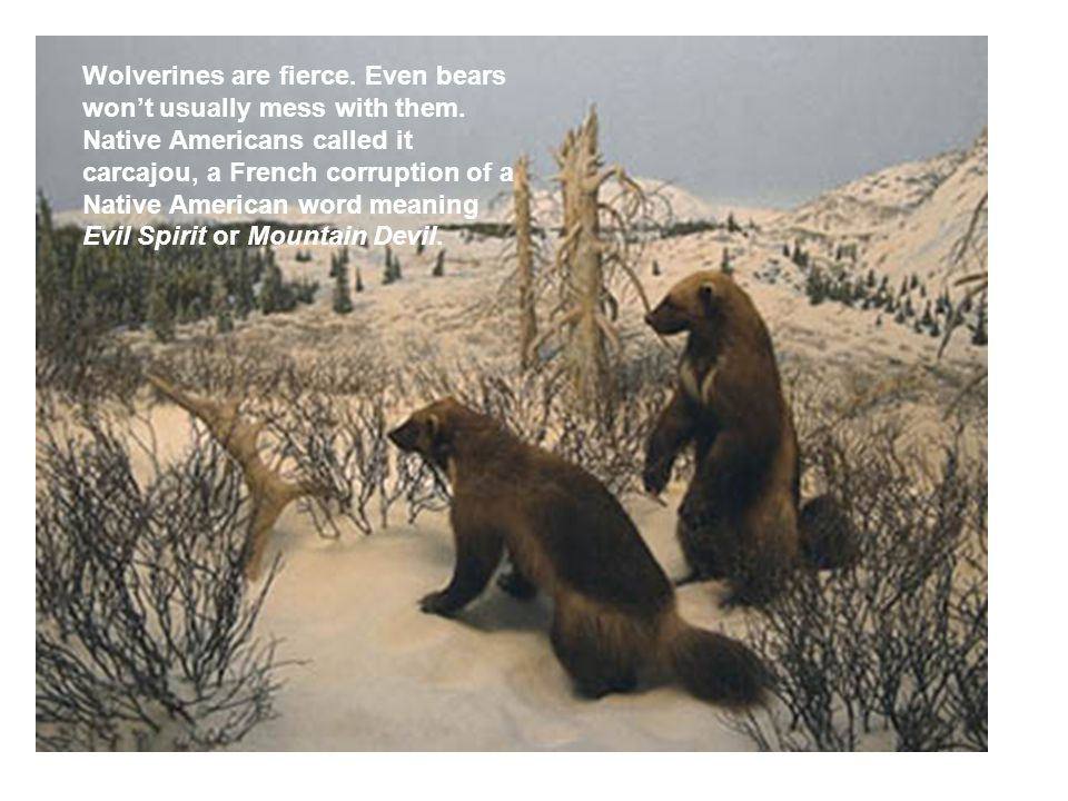Wolverines are fierce. Even bears won't usually mess with them