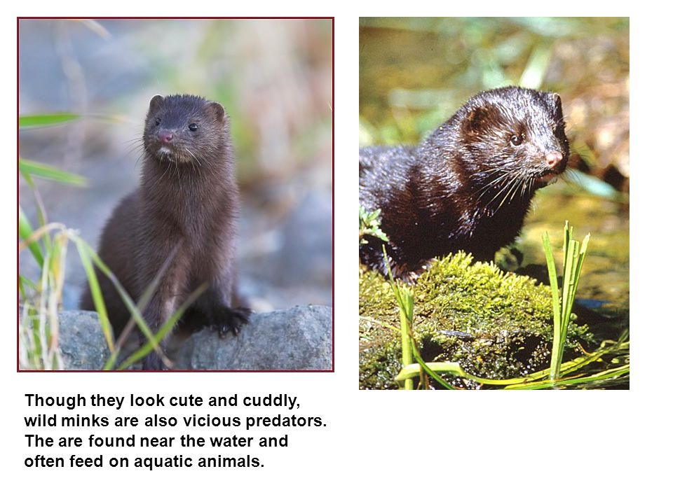 Though they look cute and cuddly, wild minks are also vicious predators.